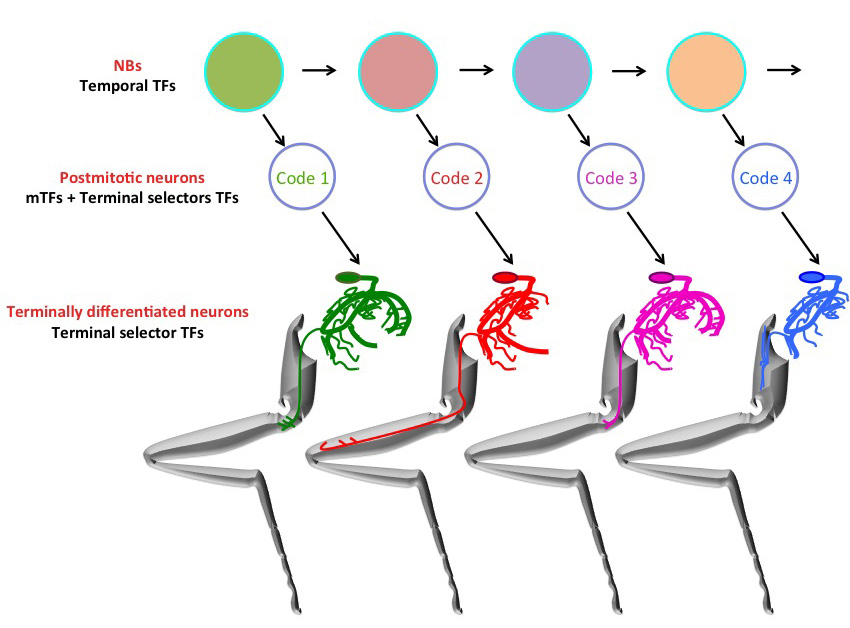 Motor Neuron Development And Circuitry In The Adult Leg